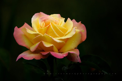 Solitary Yellow Rose