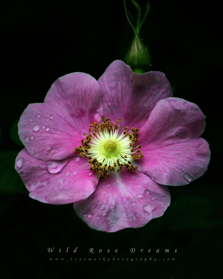 Wild Rose Dreams