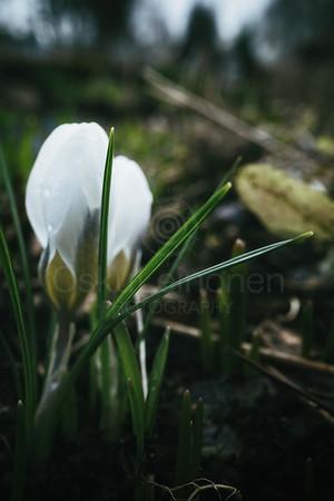 Grass Stalk And White Flower