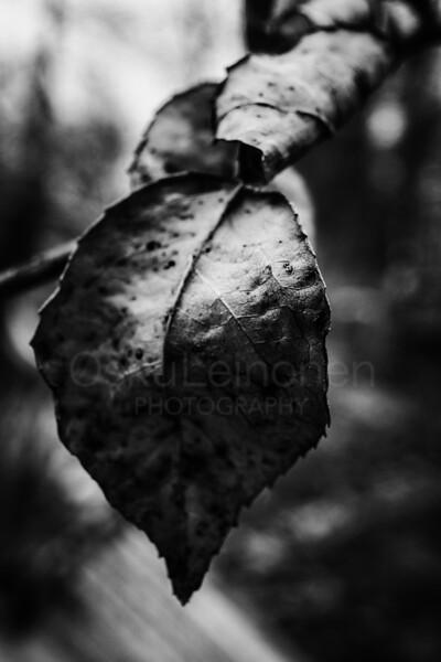 Old Leaf I (Black And White)