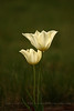 Tulip Twins
