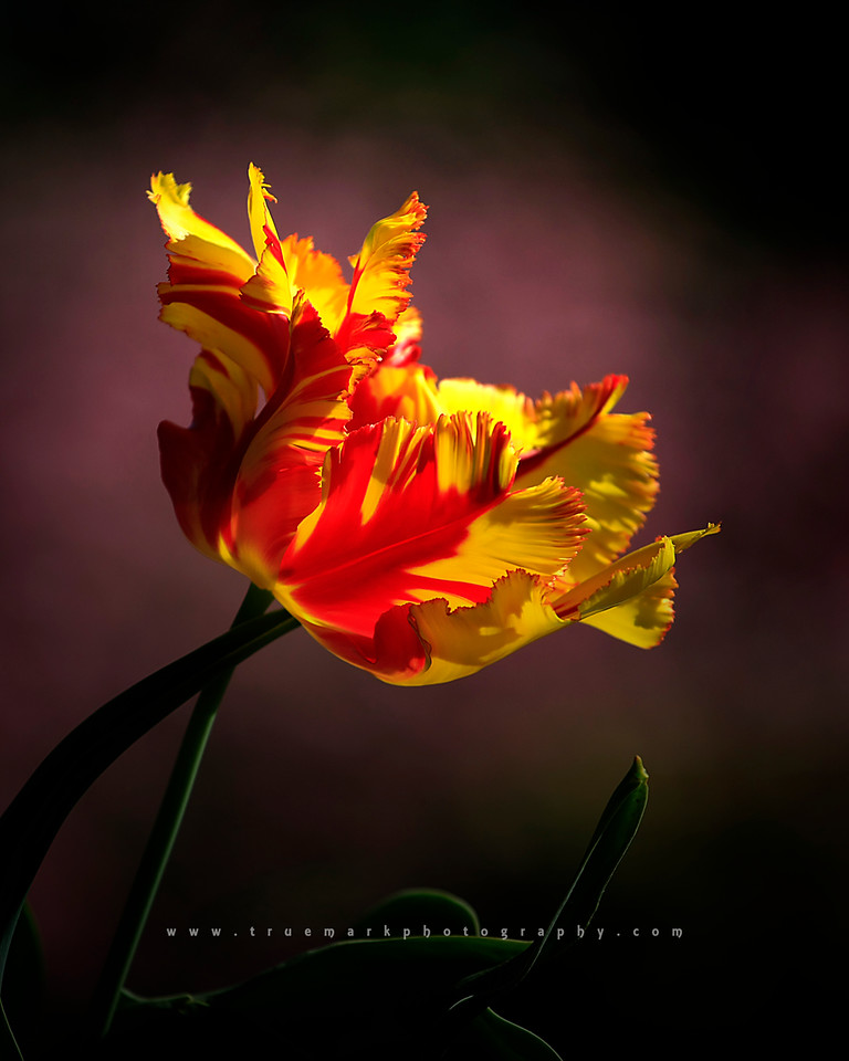 Tulip On Fire