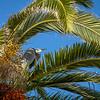 Bolsa Chica Huntington Beach Palm Tree Great Blue Heron ©2014 MelissaFaithKnight&FaithPhotographyNV -4113
