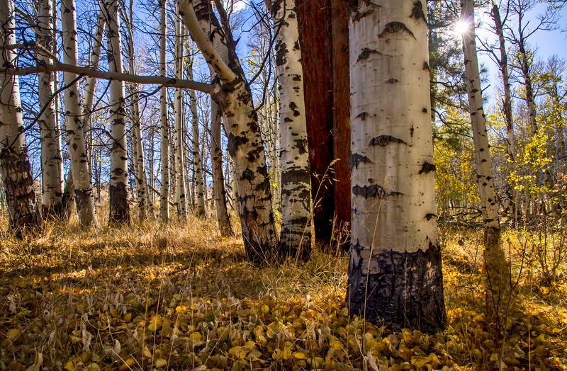 An Aspen Grove's Blanket Oct19 ©2014MelissaFaithKnight 