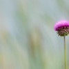Thistle Flower 1 451A5145 2018faithphotographynv