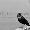 Black bird for halloween ©2014MelissaFaithKnight-