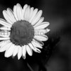 Daisy Black and White2  ©2014MelissaFaithKnight&FaithPhotographyNV 0791-2