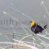 Yellow-headed blackbird ©2015MelissaFaithKnight&FaithPhotographyNV -5389