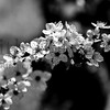 Cherry Blossoms B&W©2014MelissaFaithKnight-201422014