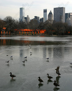 6090-Ducks and seagulls enjoy the ice in Central Park in New York City (8x10)