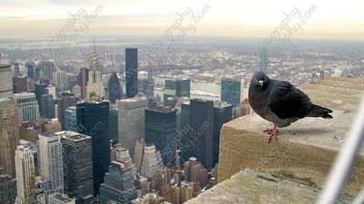 4120-A pigeon atop the Empire State building
