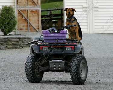 1030-Dog driving the all-terrain vehicle? (8x10)