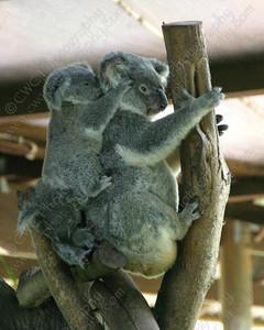 1210-Koala bears in Australia (8x10)