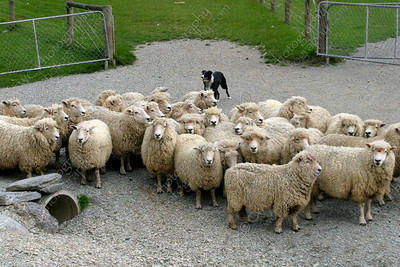 1200-Sheep being guarded by a dog in New Zealand (8x12)