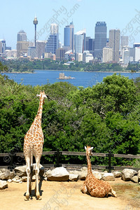 1010-Giraffes yearn for the city life in Sydney, Australia (8x12)