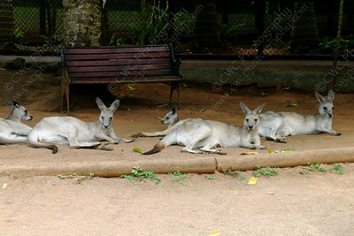 1230-Kangaroos relaxing in Australia (8x12)