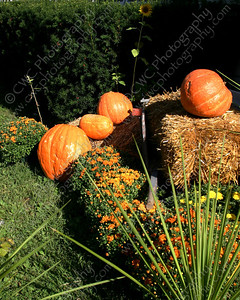1090-Orange pumpkins ready for the Fall season (i.e., Autumn) (8x10)