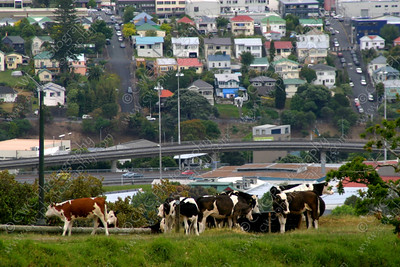 1070-Cows in Auckland, New Zealand enjoying the grass and the view (8x12)