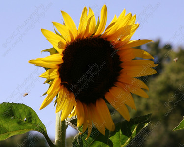 1130-A big yellow sunflower (and some bees as well!) (8x10)
