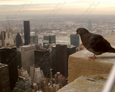 1100-Pigeon admiring the Chrysler Building and other skyscrapers of New York City (8x10)