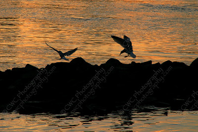 1040-Birds (seagulls) enjoying the sunset on the East River in New York City (8x12)