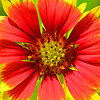Stylized Indian Blanketflower