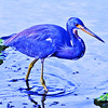 Stylized Tricolored Heron.