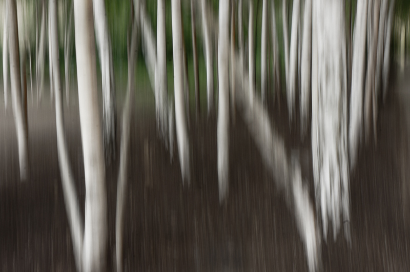 Silver Birches. Outside Tate Gallery. London.