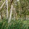 Paperbark Forest. Millstream. W.A.