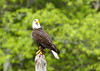 Bald Eagle<br /> <br /> (C) J.L. McPhail Photography, Spotlightpicture.com
