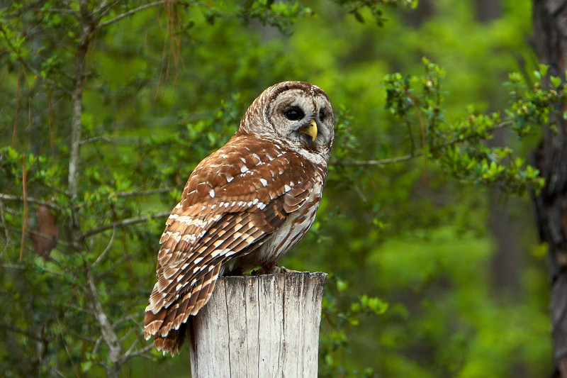 Barred Owl<br /> <br /> (C) J.L. McPhail Photography, Spotlightpicture.com