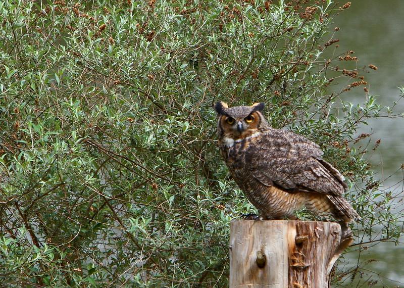 Horned Owl<br /> <br /> (C) J.L. McPhail Photography, Spotlightpicture.com