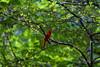 Cardinal<br /> (C) J.L. McPhail Photography, Spotlightpicture.com