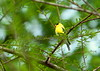 Yellow Finch 2<br /> <br /> (C) J.L. McPhail Photography, Spotlightpicture.com