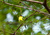 Yellow Finch<br /> <br /> (C) J.L. McPhail Photography, Spotlightpicture.com
