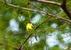 Yellow Finch<br /> <br /> (C) J.L. McPhail Photography, Spotlightpicture.com