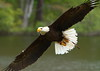 Flying Bald Eagle<br /> <br /> (C) J.L. McPhail Photography, Spotlightpicture.com
