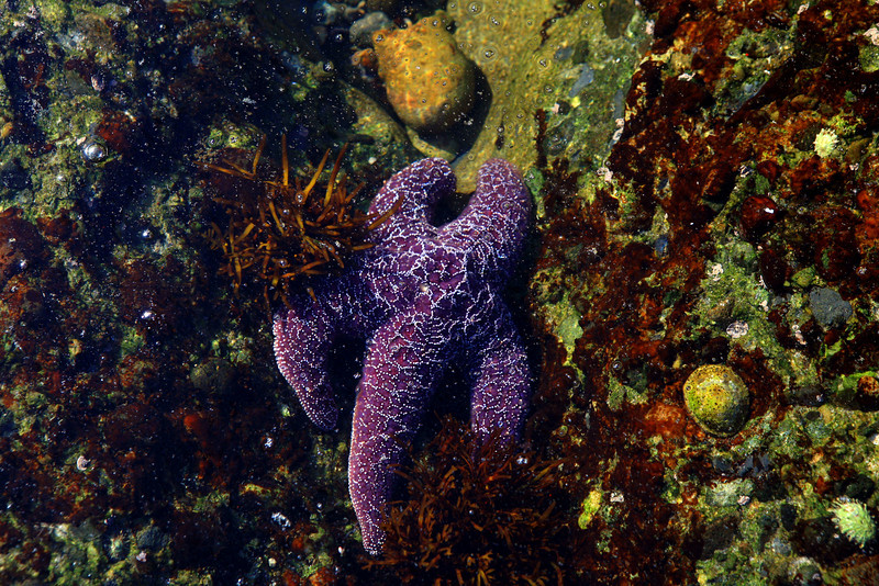 Point_Lobos_State_Reserve_Tide_Pool_Purple_Starfish_2316