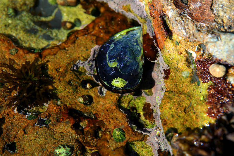 Point_Lobos_State_Reserve_Tide_Pool_Shell_2330