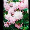 2021-05-23 Crystal Springs Rhododendron Garden-23
