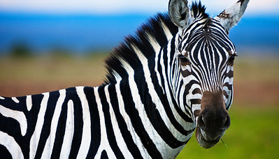 Zebra on the Serengeti, Kenya