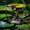"""Pink Flowers and Lily Pads""  Big Island, Hawaii  <br /> <br /> Images By Josh<br /> <br /> <br />  <a href=""http://www.imagesbyjosh.com"">http://www.imagesbyjosh.com</a>"