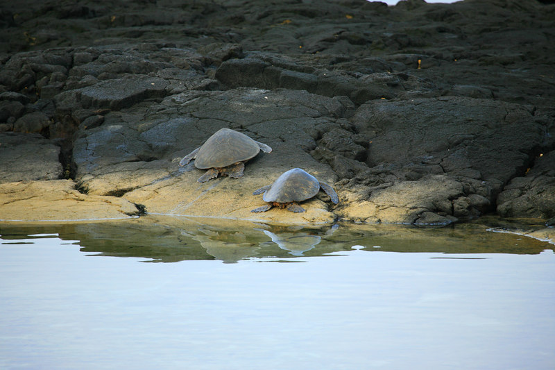 """Turtles Resting"" Big Island, Hawaii   <br /> <br /> Images By Josh<br /> <br /> <br />  <a href=""http://www.imagesbyjosh.com"">http://www.imagesbyjosh.com</a>"