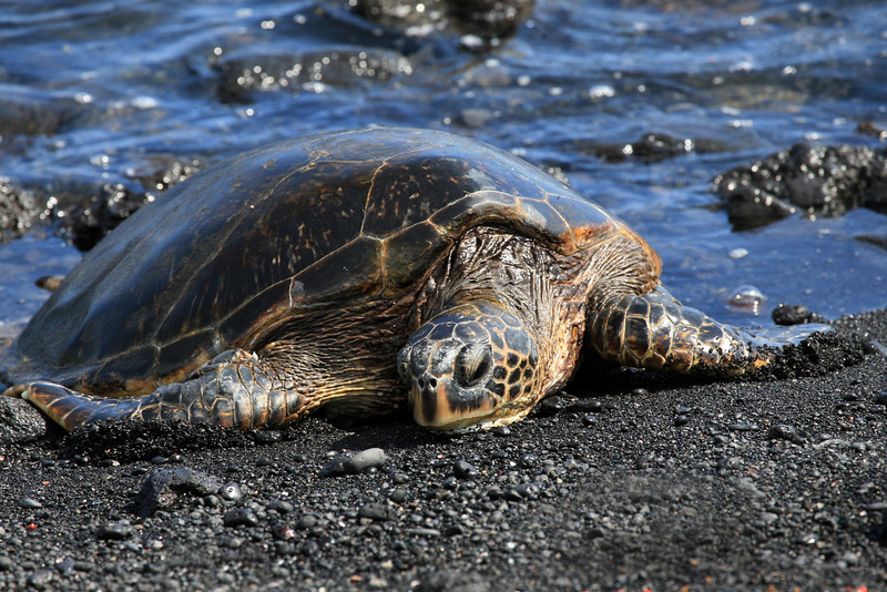 Hawaii_Black_Sand_Beach_Turtle_Resting_020111
