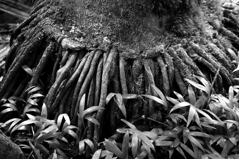 Hawaii_Botanical_Garden_Tree_Roots_BW_020311