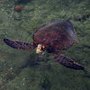 """Turtle Coming up for Air"" Big Island, Hawaii   <br /> <br /> Images By Josh<br /> <br /> <br /> <br />  <a href=""http://www.imagesbyjosh.com"">http://www.imagesbyjosh.com</a>"