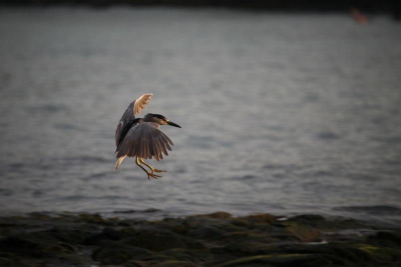 """Bird Landing""  Kona, Hawaii   <br /> <br /> Images By Josh<br /> <br /> <br /> <br />  <a href=""http://www.imagesbyjosh.com"">http://www.imagesbyjosh.com</a>"