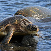 Hawaii_Black_Sand_Beach_Turtle_Emerging_020111