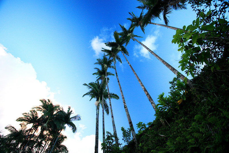 Hilo_Hawaii_Onomea_Bay_Palm_Trees_020211