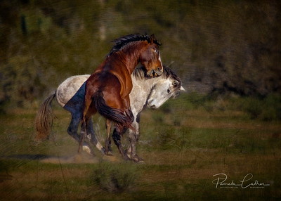 Wild Horses of Tonto National Forest,  Salt River, Phoenix Arizona